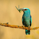 European roller with a catch of green winged insect perched on twig - PhotoDune Item for Sale
