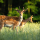 Pair of fallow deer stags standing on meadow in the summer - PhotoDune Item for Sale