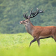 Proud red deer stag walking with head high on meadow in summer - PhotoDune Item for Sale