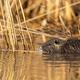 Calm nutria swimming in marsh in summer nature - PhotoDune Item for Sale