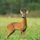 Vital roe deer male standing on field during the summer - PhotoDune Item for Sale