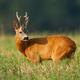 Interested roe deer buck standing on field in summer sunlight - PhotoDune Item for Sale