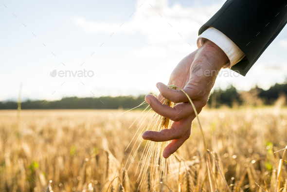 Businessman touching an ear of ripening wheat - Stock Photo - Images