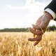 Businessman touching an ear of ripening wheat - PhotoDune Item for Sale