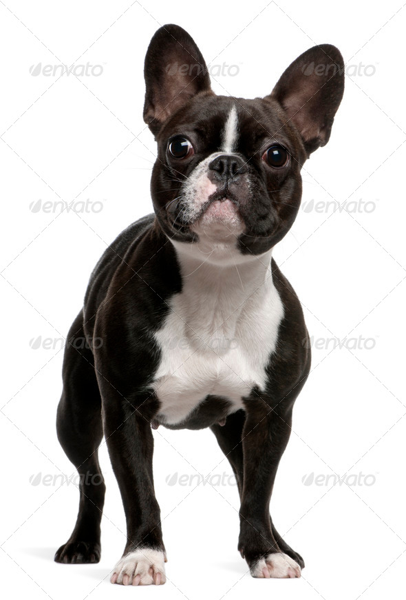 French Bulldog (1 year old) - Stock Photo - Images
