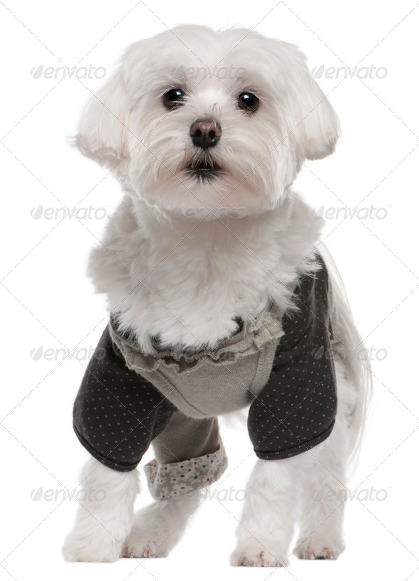 Maltese (3 years old), Maltese puppy (6 months old) - Stock Photo - Images