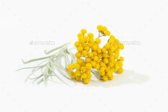 Helichrysum italicum plant - Stock Photo - Images