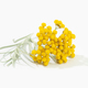 Helichrysum italicum plant - PhotoDune Item for Sale