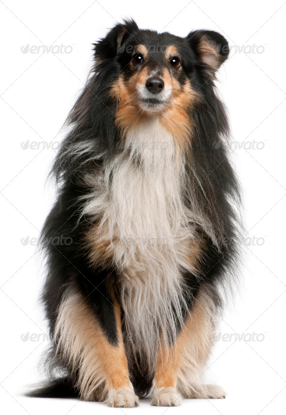 Shetland Sheepdog (7 years old) - Stock Photo - Images