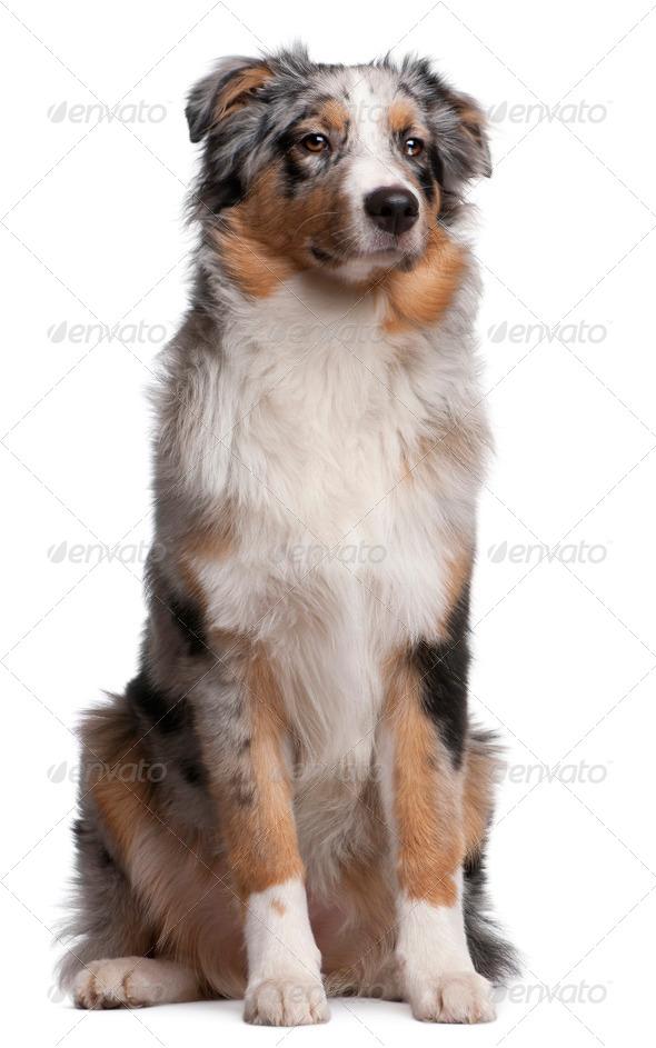 Australian Shepherd dog sitting in front of white background - Stock Photo - Images