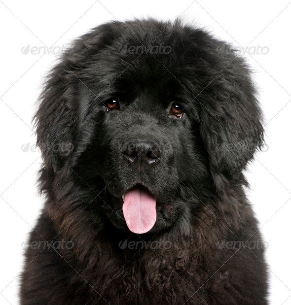 Newfoundland puppy (6 months old) - Stock Photo - Images