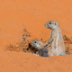 Cape Ground Squirrel Pair in Kalahari - PhotoDune Item for Sale