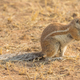 A Cape Ground Squirrel Feeding - PhotoDune Item for Sale