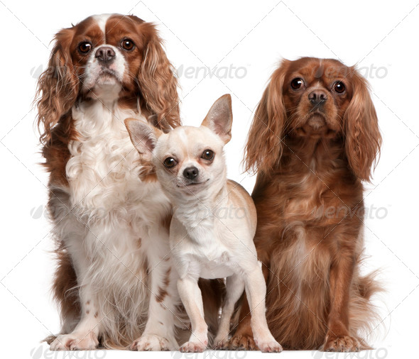Cavalier King Charles Spaniel (4 years old), Cavalier King Charl - Stock Photo - Images