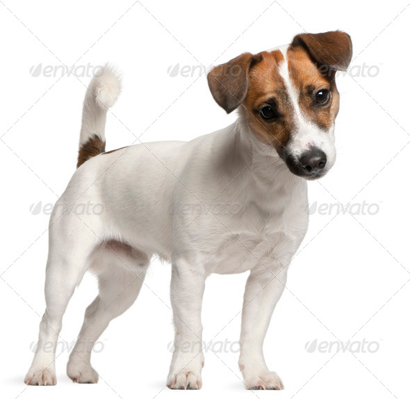 Jack Russell Terrier (7 months old) - Stock Photo - Images