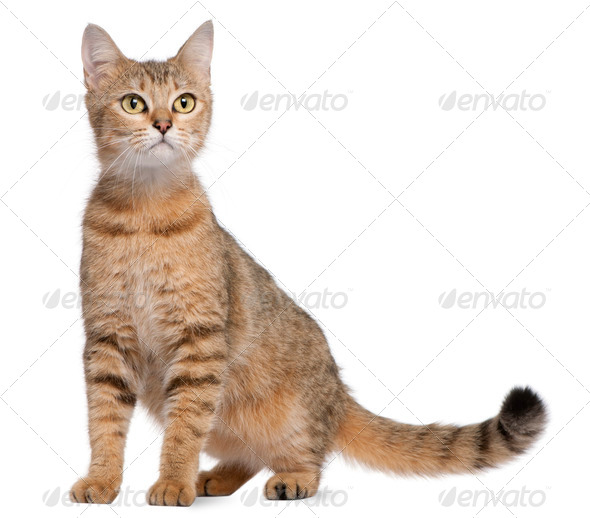 Bengal (19 months old) - Stock Photo - Images