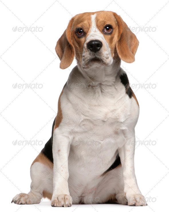 Beagle (12 months old) - Stock Photo - Images