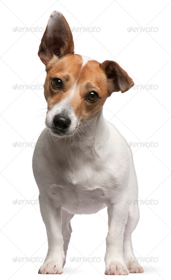 Jack Russell Terrier (2 years old) - Stock Photo - Images