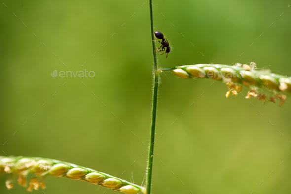 Tiny black ant on the grass stem - Stock Photo - Images