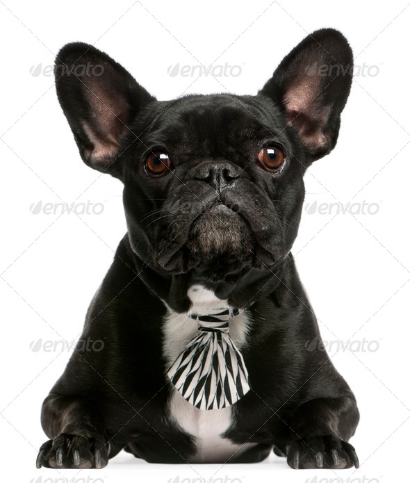 French Bulldog (3 years old), French Bulldog (5 years old) - Stock Photo - Images