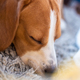Dog tired sleeps on a couch. Lazy Beagle on sofa. - PhotoDune Item for Sale