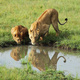 lions - PhotoDune Item for Sale