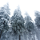 Bottom view massive chic snowy fir trees - PhotoDune Item for Sale