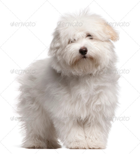 Coton de Tulear puppy (4 months old) - Stock Photo - Images