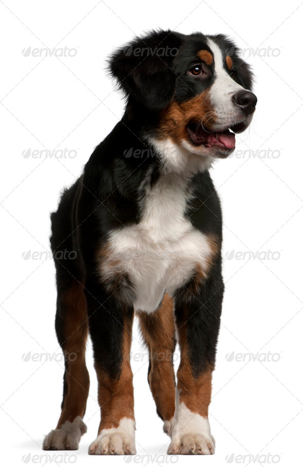 Bernese Mountain Dog puppy (4 months old) - Stock Photo - Images