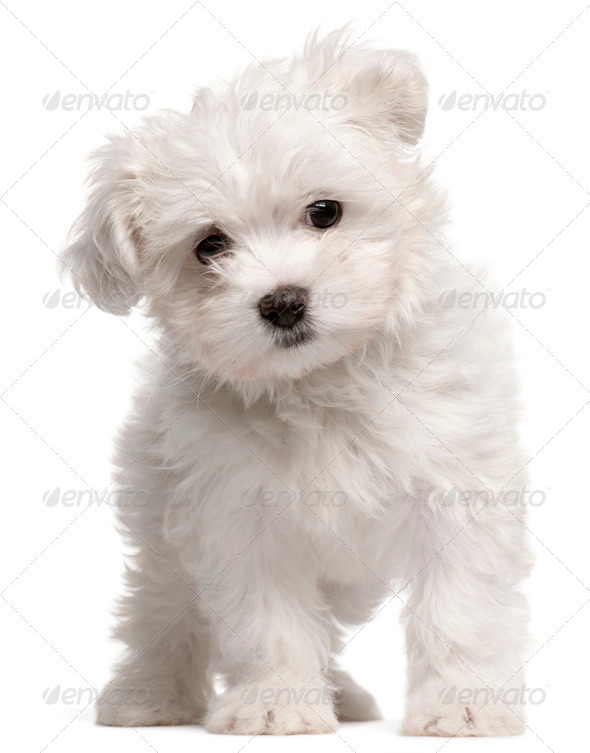 Maltese puppy (2 months old) - Stock Photo - Images