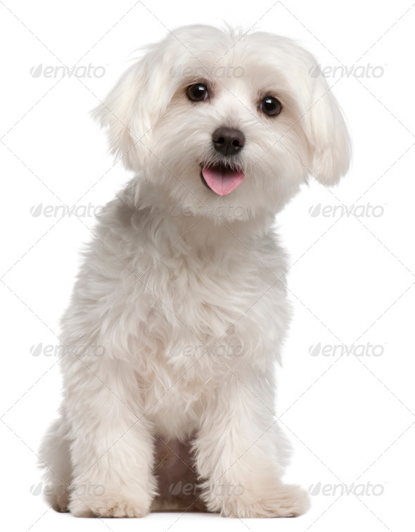 Maltese (9 months old) - Stock Photo - Images