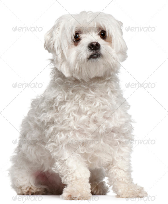 Maltese (2 years old) - Stock Photo - Images