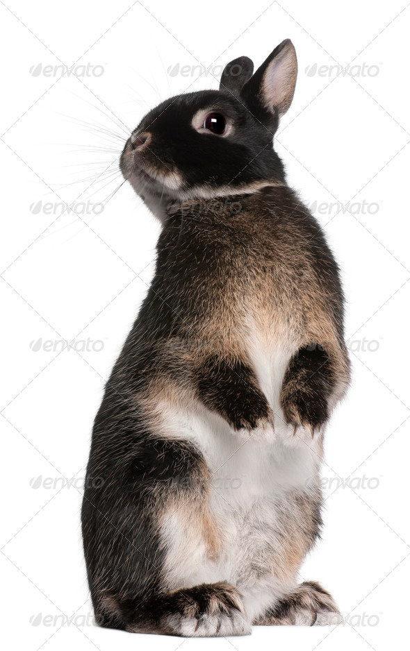 Rabbit standing on hind legs in front of white background - Stock Photo - Images