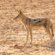 A Black-Backed Jackal in the Kalahari - PhotoDune Item for Sale