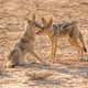 Black-Backed Jackal Pair - PhotoDune Item for Sale