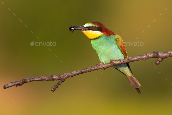 Colorful european bee-eater sitting on branch in summer with insect in beak - Stock Photo - Images