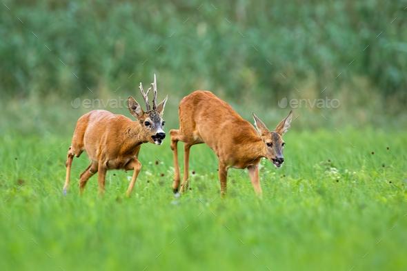 Pair of roe deer running on meadow in rutting season - Stock Photo - Images
