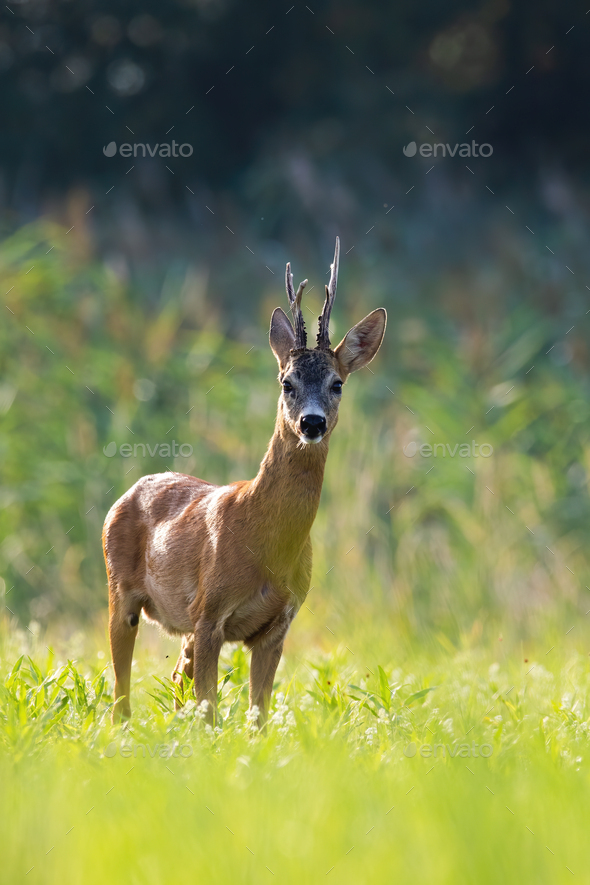 Roe deer buck standing on backlit meadow in summer at sunset - Stock Photo - Images