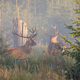 Two majestic red deer stags standing in mist in the morning - PhotoDune Item for Sale