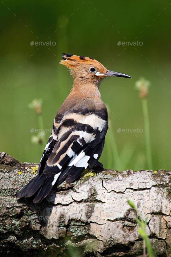 Young Eurasian hoopoe sitting on tree trunk in summer - Stock Photo - Images