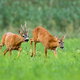 Pair of roe deer running on meadow in rutting season - PhotoDune Item for Sale
