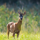 Roe deer buck standing on backlit meadow in summer at sunset - PhotoDune Item for Sale