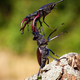Two stag beetles fighting against each other on the wood - PhotoDune Item for Sale