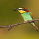 Colorful european bee-eater sitting on branch in summer with insect in beak - PhotoDune Item for Sale