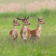 Three majestic fallow deer stags standing on meadow in summer - PhotoDune Item for Sale