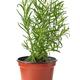 fresh thyme in flower pot - PhotoDune Item for Sale