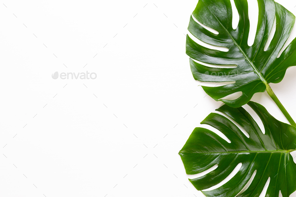 Tropical Jungle Leaf Monstera Resting On Flat Surface On White Wooden Background Stock Photo By Gitakulinica Palm beach tree leaves jungle botanical. https photodune net item tropical jungle leaf monstera resting on flat surface on white wooden background 27651485