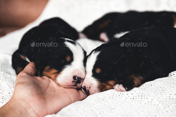Little puppy of Bernese Mountain Dog in bed. Cute animals - Stock Photo - Images