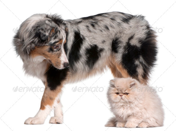 Australian Shepherd dog, 6 months old, looking at Persian cat in front of white background - Stock Photo - Images
