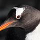black and white penguin - PhotoDune Item for Sale